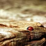 ladybug-354521_640